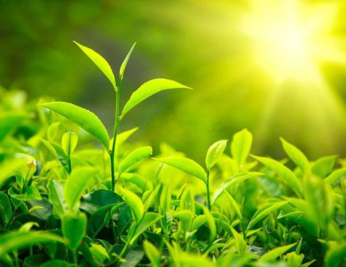 trà xanh giúp giảm cân an toàn